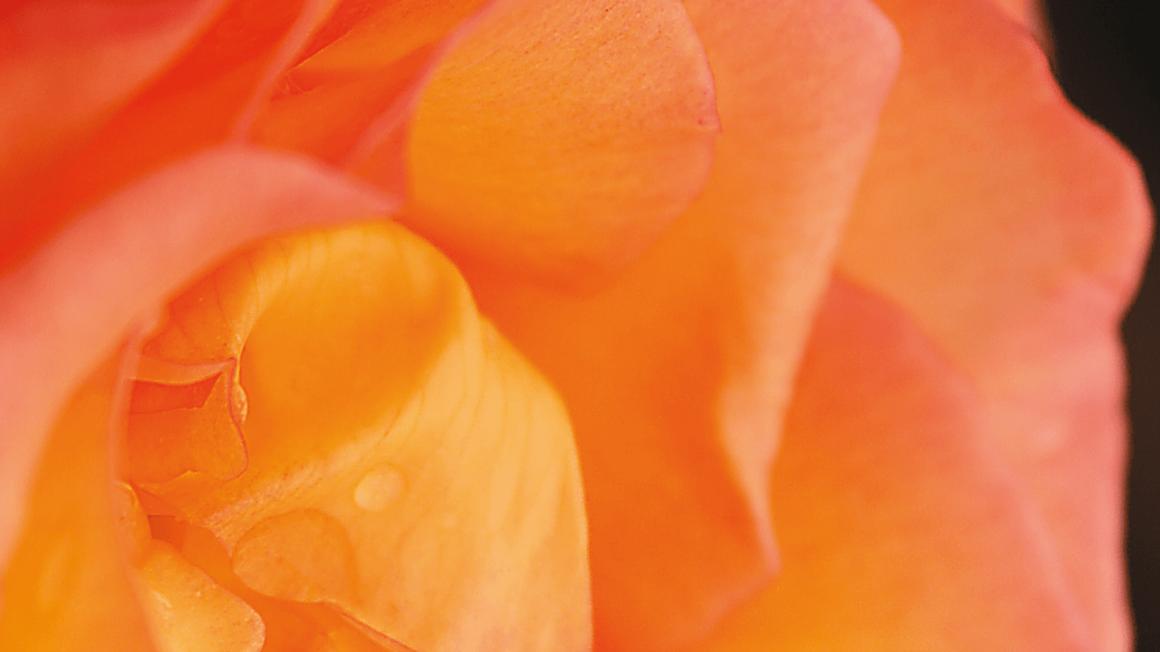 Gelb-rote Rose im Detail vor schwarzem Hintergrund