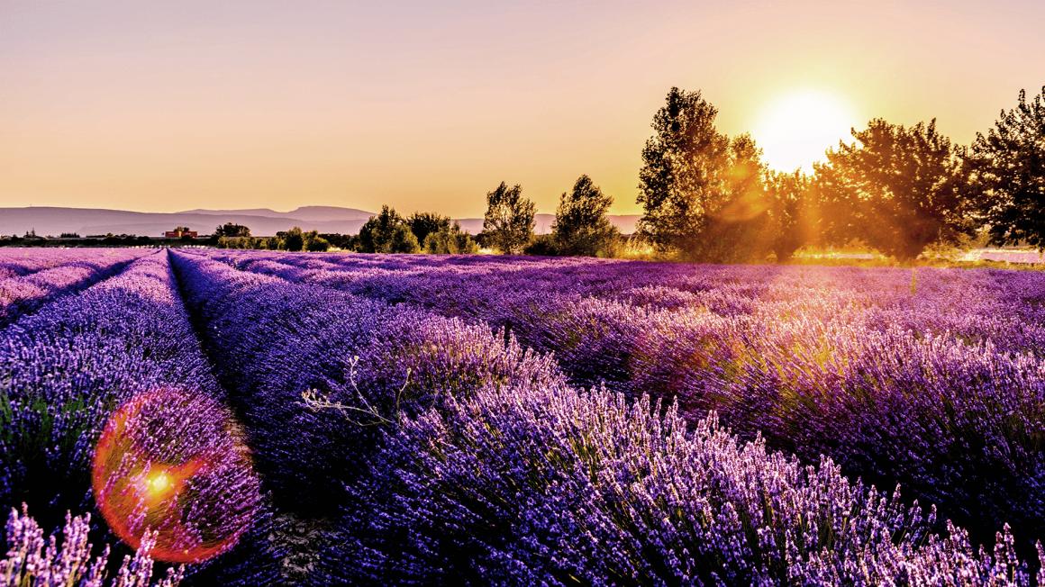 Sonnenuntergang hinter Lavendelfeld